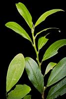 Листья коки — анестетик в Древней Индии