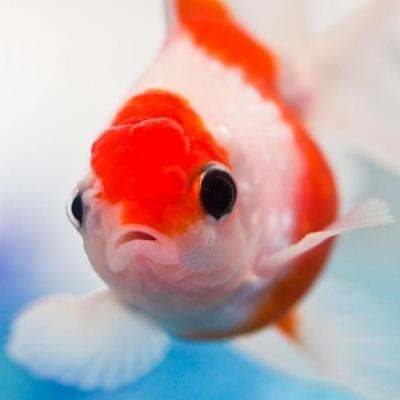 Пластическая операция для золотой рыбки
