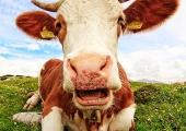 Продать корову и сделать увеличение члена