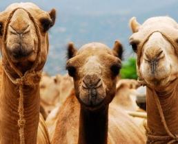 Верблюдицам кололи ботокс ради победы в конкурсе красоты
