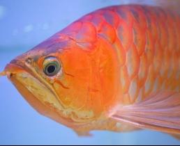 Эстетическая хирургия для любимой рыбы